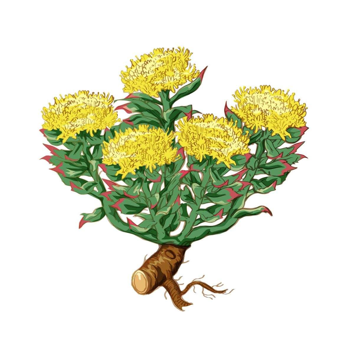 Rhodiola Rosea Vector
